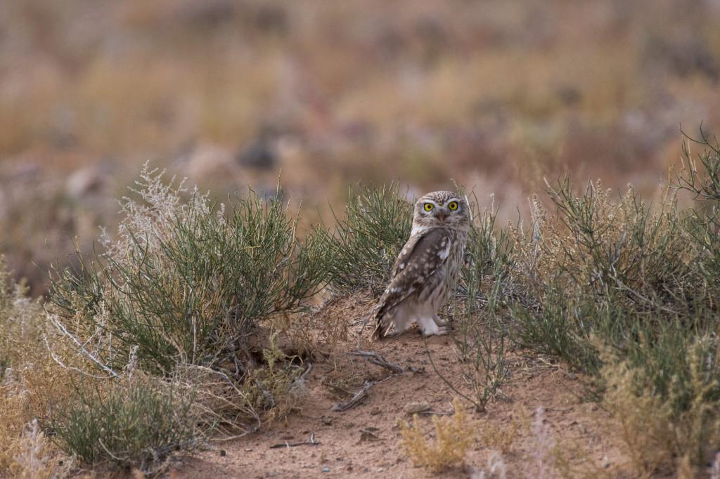 Julie-Larsen-Maher_5526_Little-Owl-in-Gobi_MNG_10-03-16