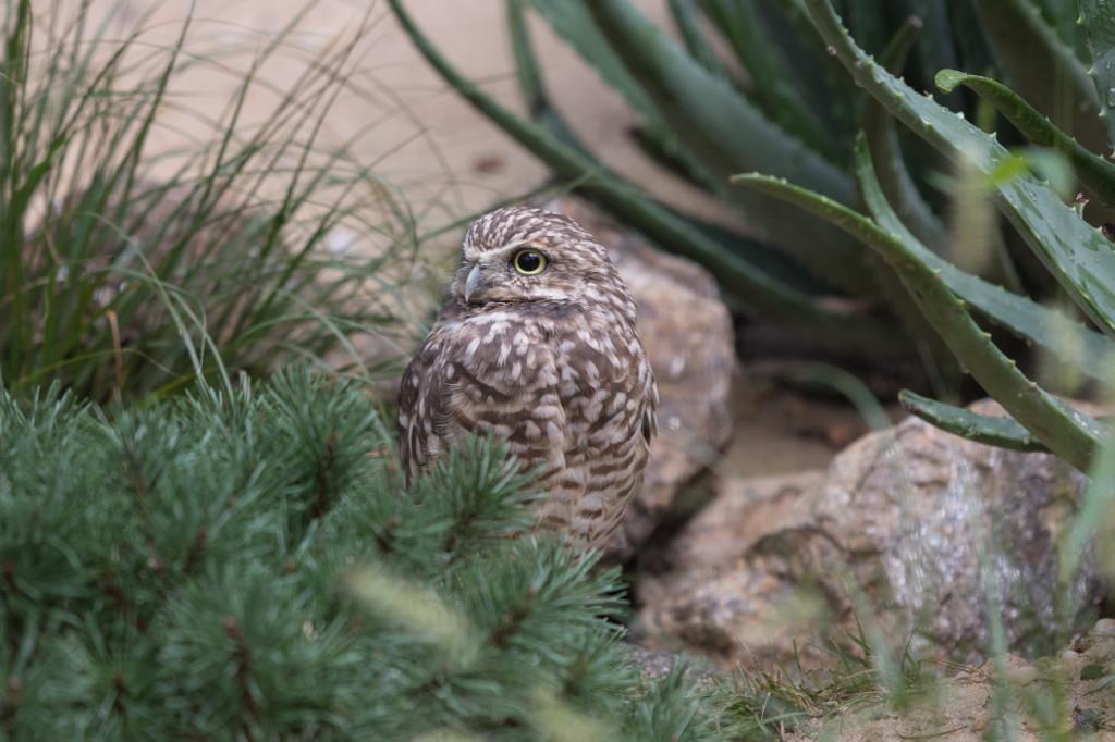 Julie-Larsen-Maher_7463_Burrowing-Owls_BOP_BZ_09-07-17