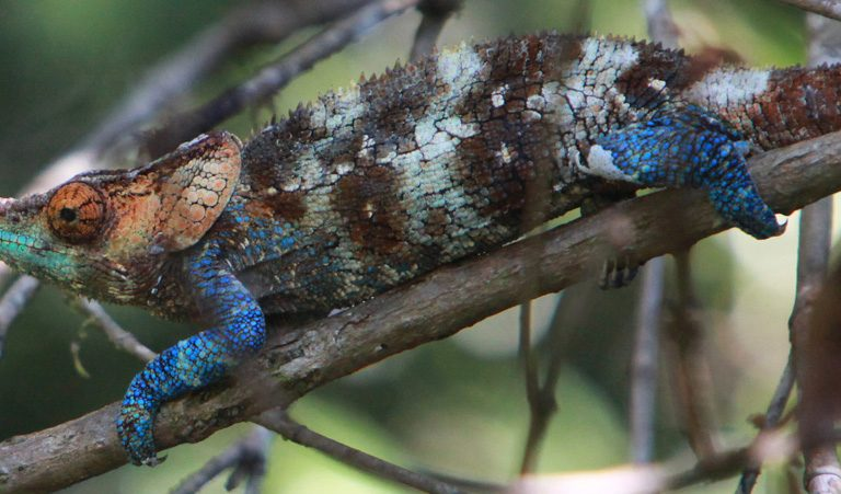 chameleon, a species that lives in Ranomafana National Park. Photo by