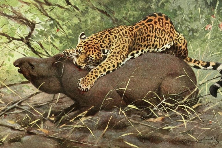Life and death and the jaguars of the mind commentary illustration of a jaguar attacking a tapir from 1911 via wikimedia commons voltagebd Gallery