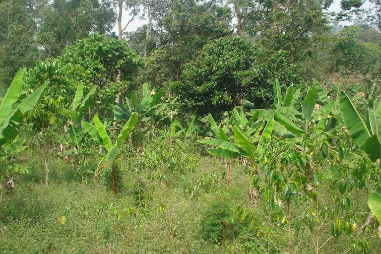 Typical-Agroforest-in-the-North-West-Region-of-Cameroon-with