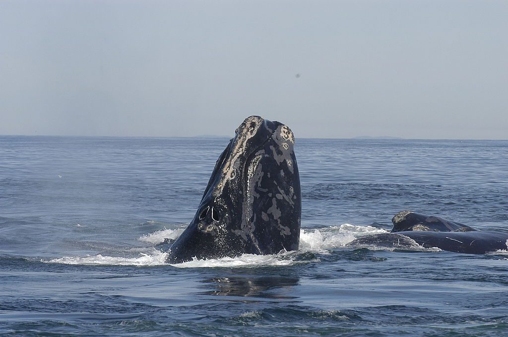 A north Atlantic right whale surfaces. Their populations have not yet recovered from the whaling era.