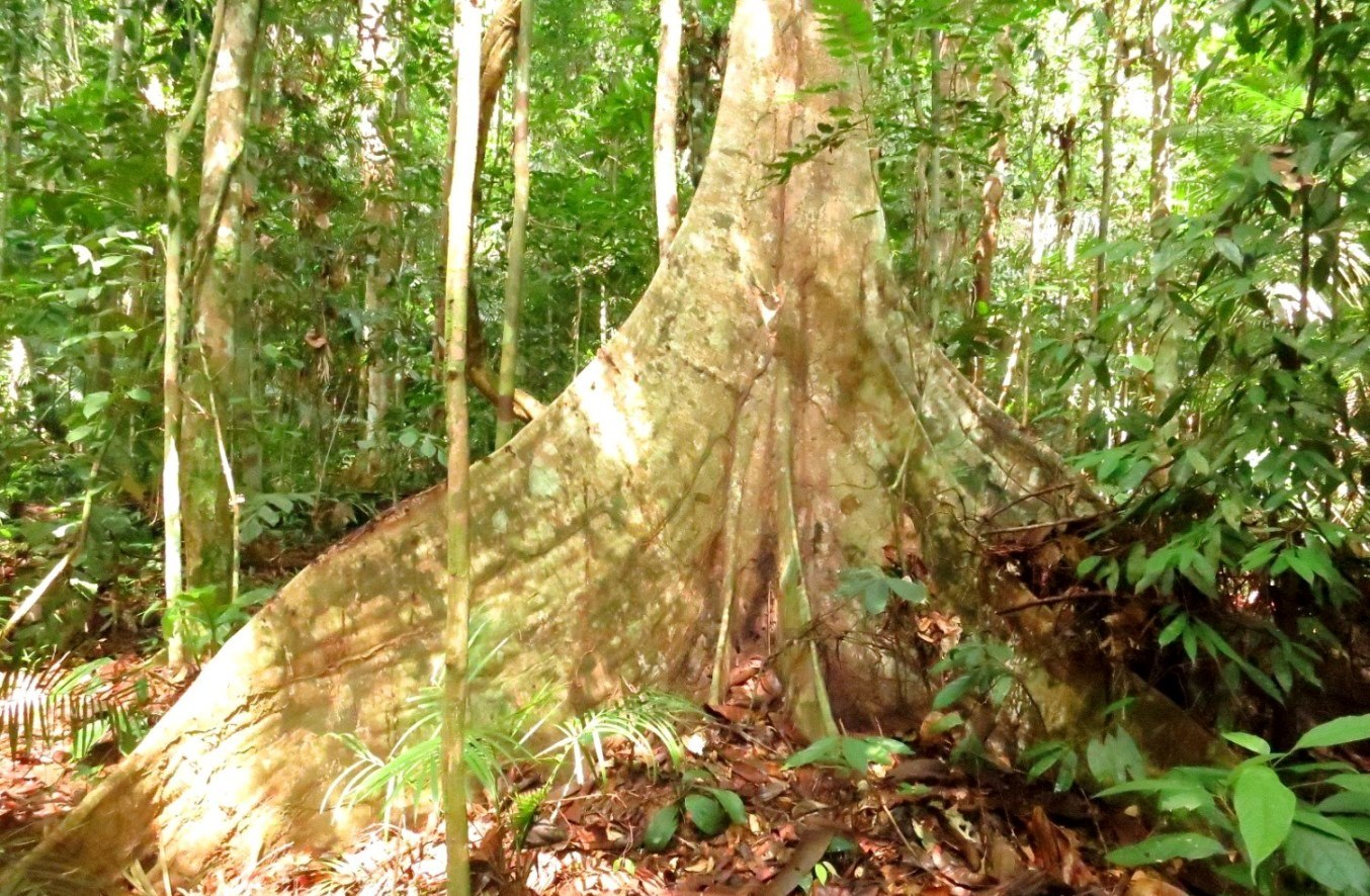 Huge buttress of a rainforest tree in Taman Negara National Park, Malaysia.