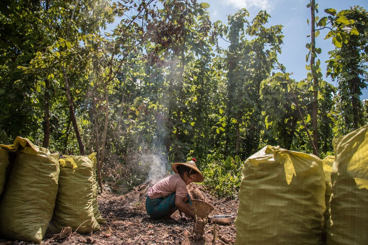 A local woman pulls charcoal from an earth kiln near Katha, a town in the Sagaing region of Myanmar. Producers in the area around Katha are often farmers who make charcoal to supplement their income. Photo by Nathan Siegel for Mongabay.