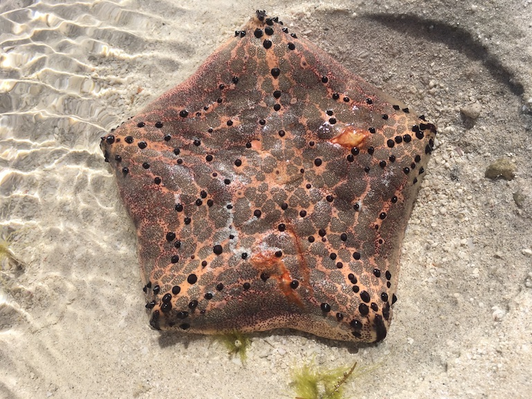 A starfish at low tide in Beheloke (species unknown). Photo by Rowan Moore Gerety for Mongabay.