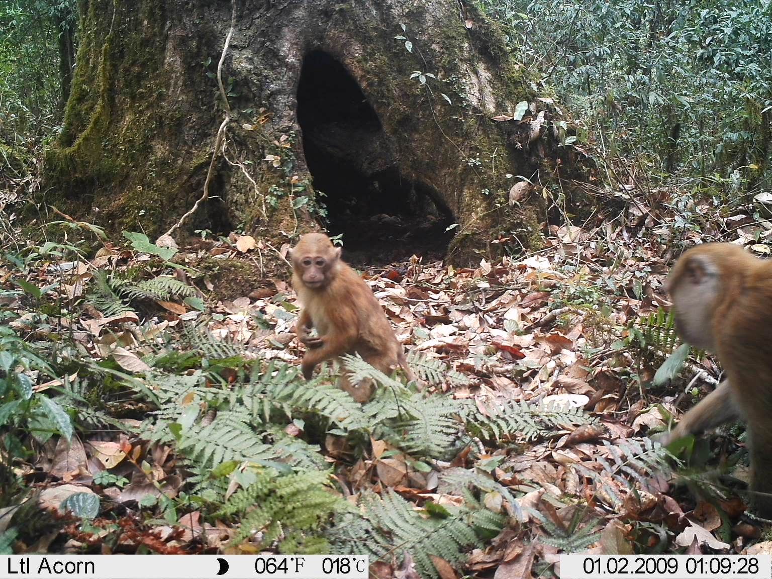 Arunachal macaque caught on camera in Eaglenest Wildlife Sanctuary, India