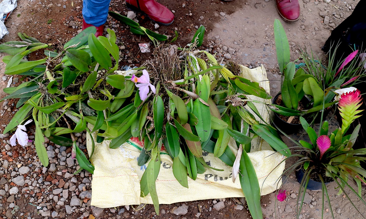 "Cattleya trianae, also known as the ""Christmas orchid"" which is at danger of extinction at the Paloquemao Market in Bogota. Photo by Maximo Anderson for Mongabay."