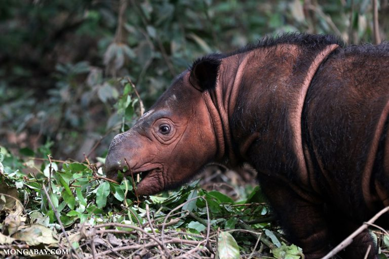 For two rhino species on brink of extinction, it's collaboration vs. stonewalling