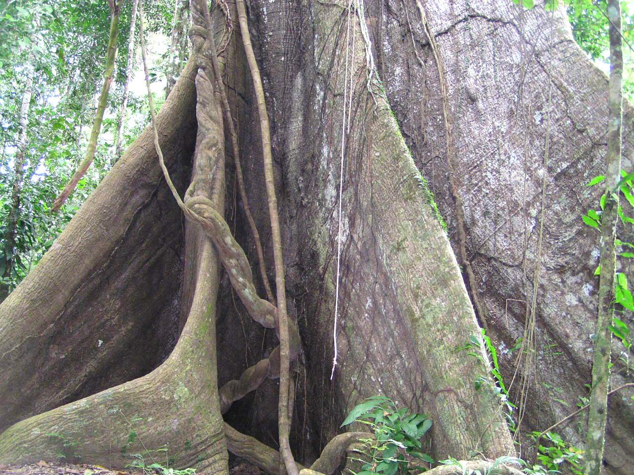 A large canopy emergent tree from the forest floor. Buttressed roots hold it steady in heavy rain.