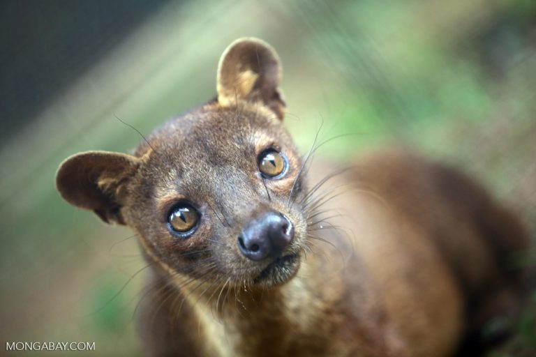 A fossa (Cryptoprocta ferox), a species that lives in Marojejy National Park, which was ground zero for Madagascar's rosewood logging crisis in 2009. Photo by Rhett A. Butler.