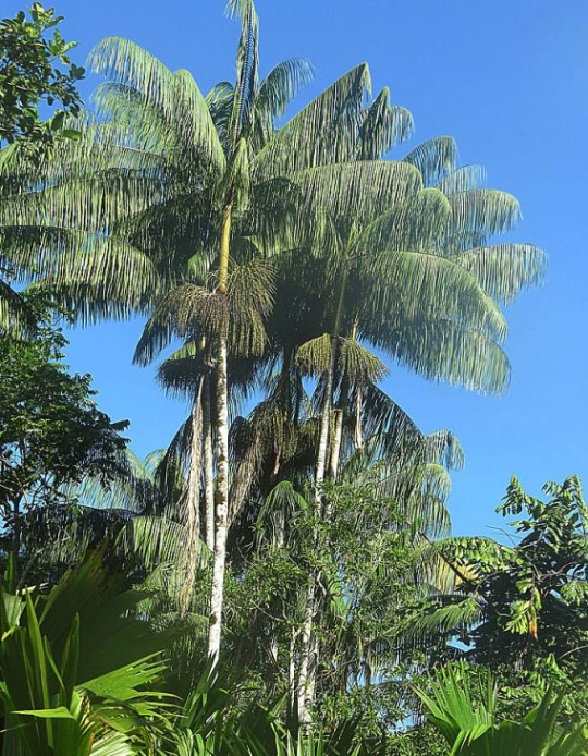 The huasai (a.k.a. Acai) palm from below.