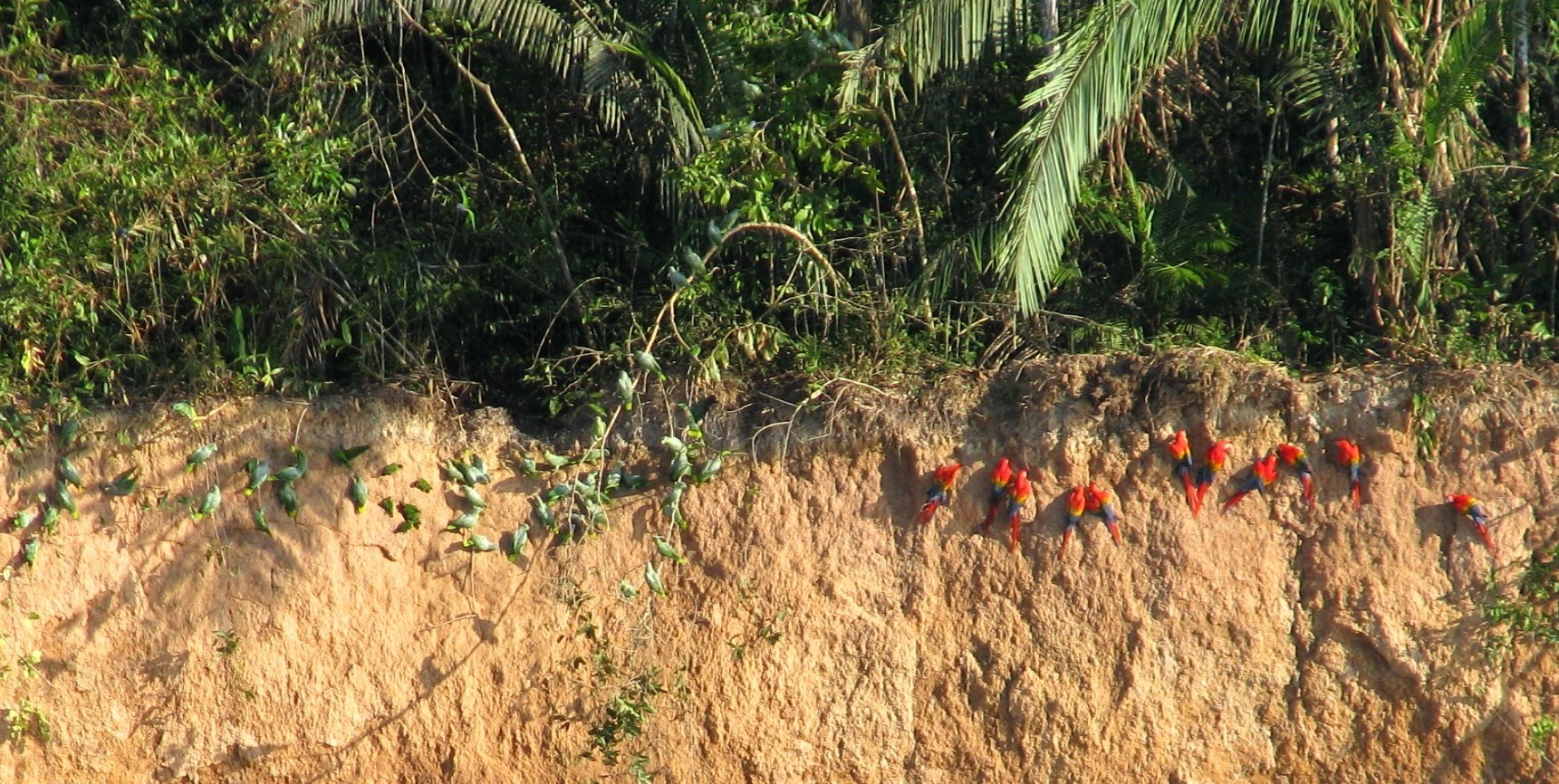 Parrots and scarlet macaws eat the seeds of palms and canopy trees. Here they eat minerals from the river bank clay that provides salt and may help them digest the seeds.