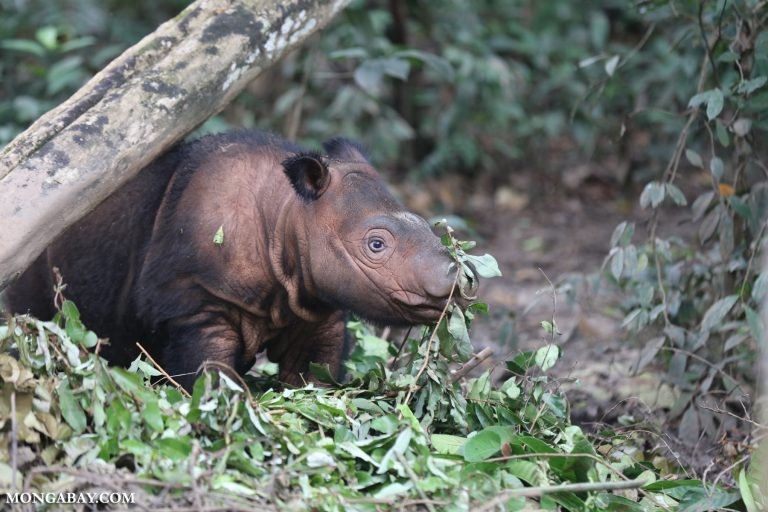 U.S. fund that supports Sumatran rhino research faces deep cuts under Trump
