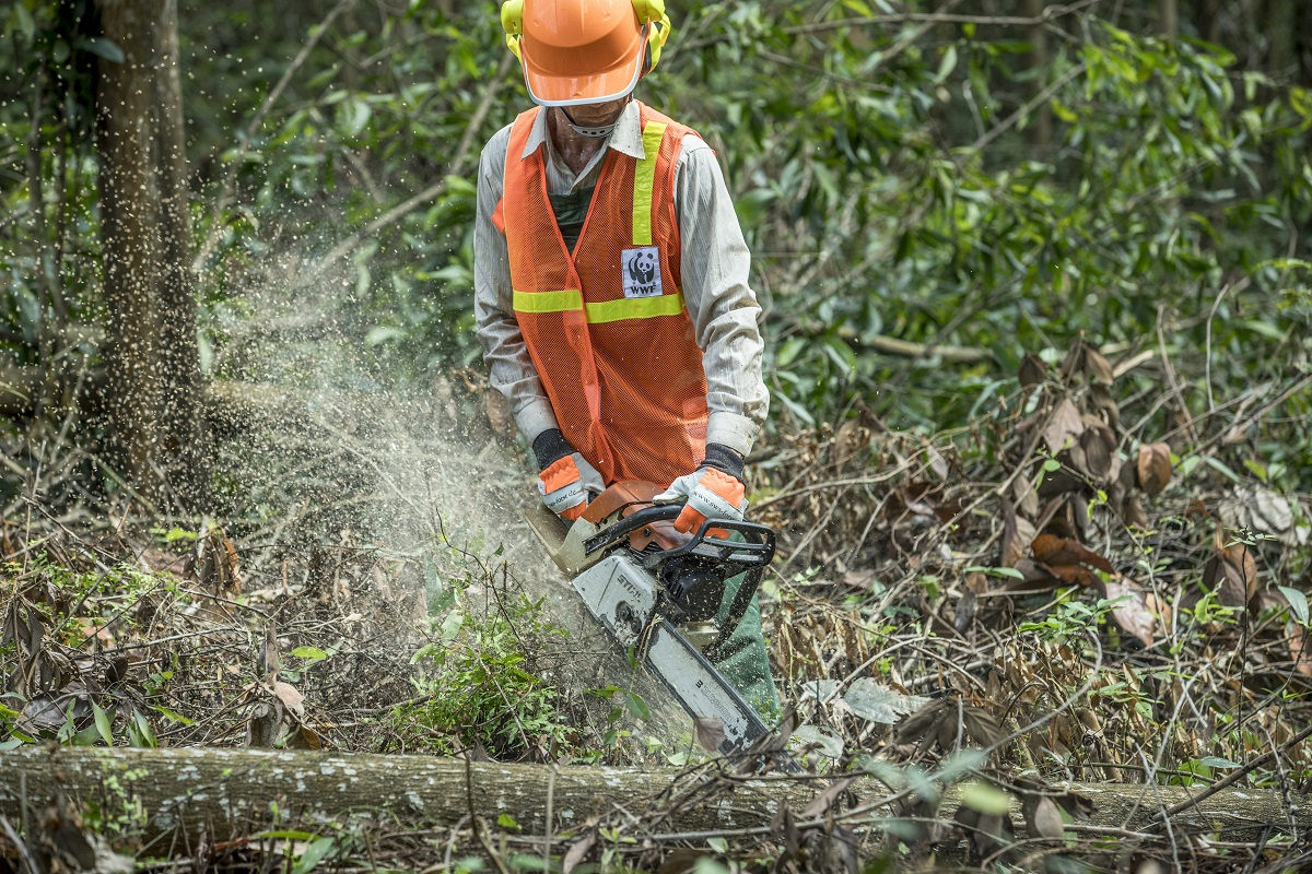 A member of a local FSC-trained harvesting team at work in Phu Loc district, Thua Thien Hue. Photo by James Morgan/WWF with permission.