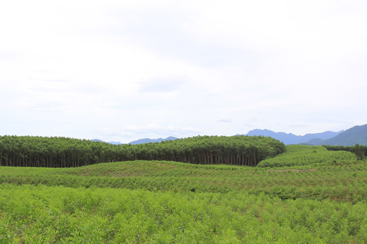 An acacia plantation belonging to TTH-FOSDA's members in Ben Van village, Phu Loc District, Thua Thien Hue. Photo by Loc Vu Trung/WWF with permission.
