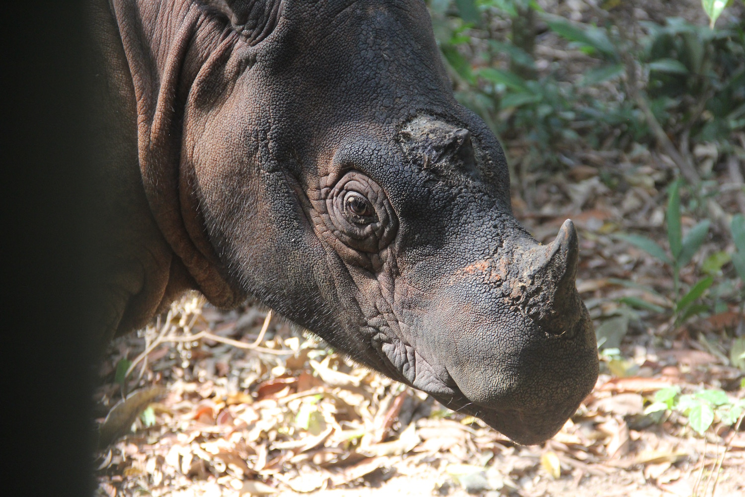 In this 2017 image, young Andatu has a breakfast of watermelon after being checked by keepers. Andatu made history as the first captive born Sumatran rhino in Indonesia when he was born in 2012. Image by Jeremy Hance for Mongabay.