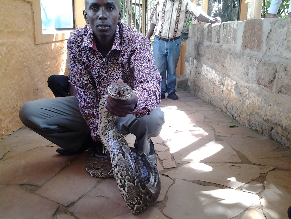 A worker at the National Museums of Kenya holds an African rock python (Python sebae). The species is among those that Kenyan politicians are suspected of trafficking for use as pets or for their meat or skin. Photo by Gitonga Njeru.