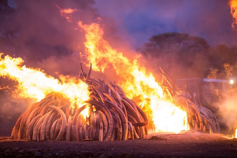 Kenya burned 105 tons of confiscated ivory and one ton of rhino horn in April, 2016. Elephant and rhino poaching has declined by 75 percent since 2014, according to the Kenya Wildlife Service, but police have linked some of the latest incidents to four high-level politicians. Photo by Mwangi Kirubi via Wikimedia Commons [CC BY-SA 4.0].