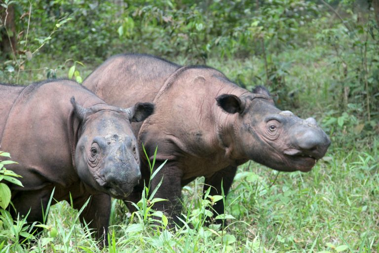 Sumatran rhinos show low inbreeding — but when it happens, collapse is quick