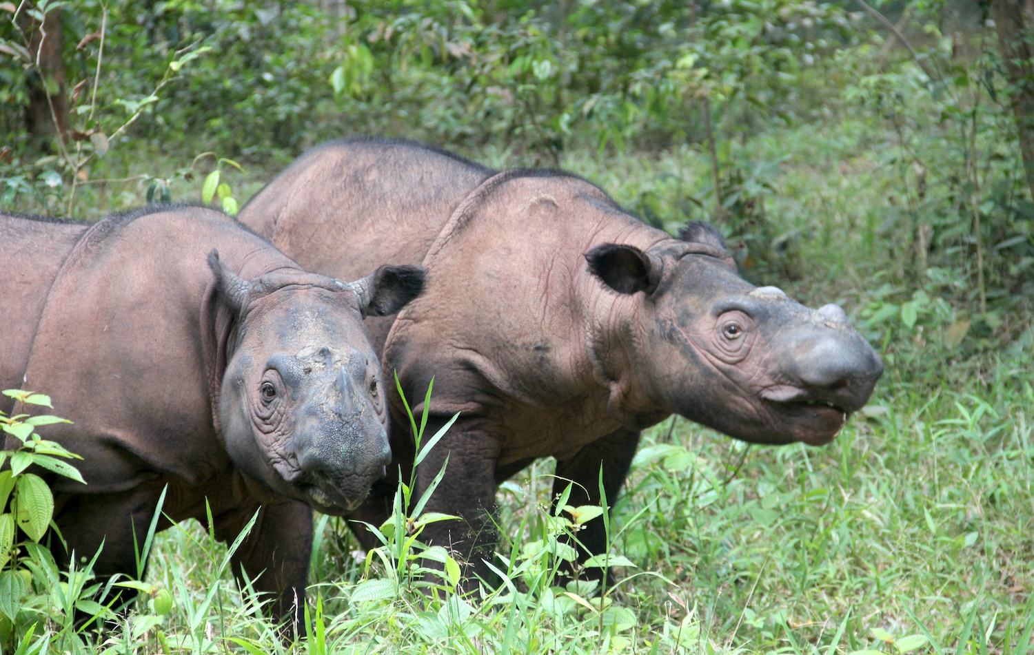 Mother and daughter: Ratu (right) and Delilah (left), photographed in 2017 at the Sumatran Rhino Sanctuary in Indonesia's Way Kambas National Park. Delilah is now nearing the age of sexual maturity, but is closely related to all of the male rhinos at the sanctuary. Image by Jeremy Hance for Mongabay.