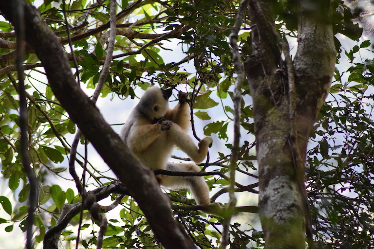 Conservationists believe fewer than 250 critically endangered silky sifaka lemurs (Propithecus candidus) remain, many of them in Marojejy National Park, where illegal rosewood logging was heavy. Photo by Dan Ashby and Lucy Taylor for Mongabay.