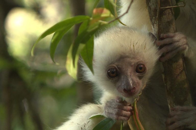 A baby silky sifaka lemur (Propithecus candidus) in Marojejy National Park. Photo by Dan Ashby and Lucy Taylor for Mongabay.