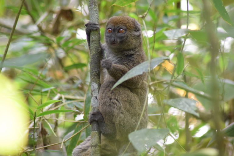 A bamboo lemur (Hapalemur griseus). Photo by Dan Ashby and Lucy Taylor for Mongabay.