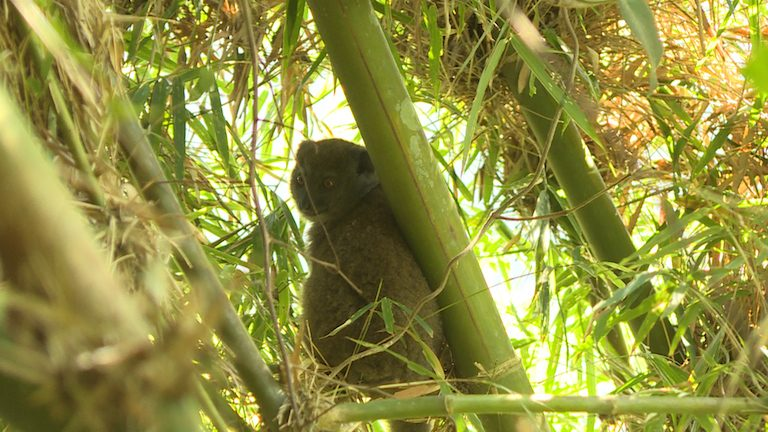 A bamboo lemur (Hapalemur griseus) rests in its namesake plant in Marojejy National park. Photo by Dan Ashby and Lucy Taylor for Mongabay.
