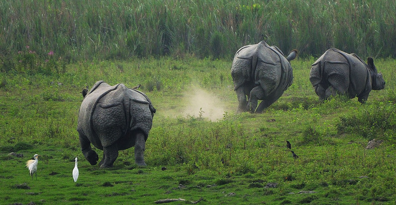 Greater one-horned rhinos running in Kaziranga National Park. Photo credit: Murali K via Flickr [Licensed under CC BY 2.0]