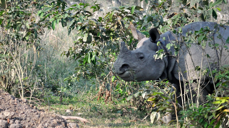 A greater one-horned rhino in Assam State's Pobitora National Park. Photo credit: Travelling Slacker via Flickr [Licensed under CC BY 2.0]s