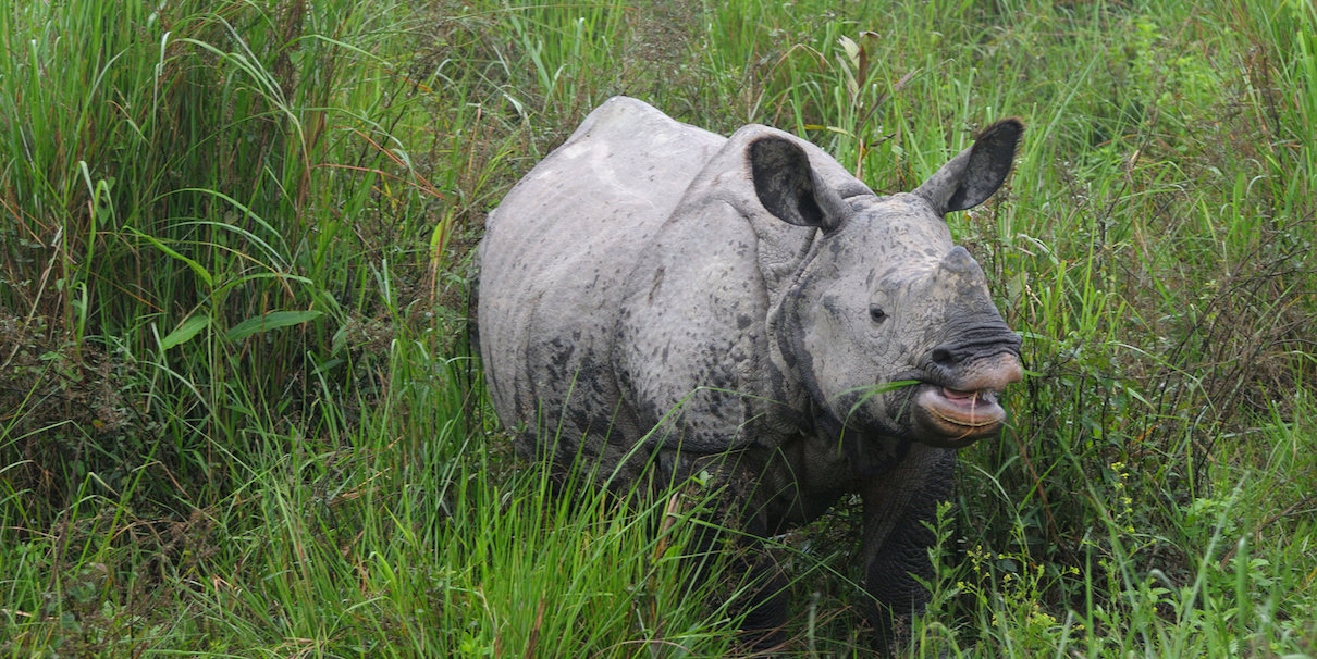 A greater one-horned rhino in Kaziranga National Park. Photo credit: Murali K via Flickr [Liccensed under CC BY 2.0]