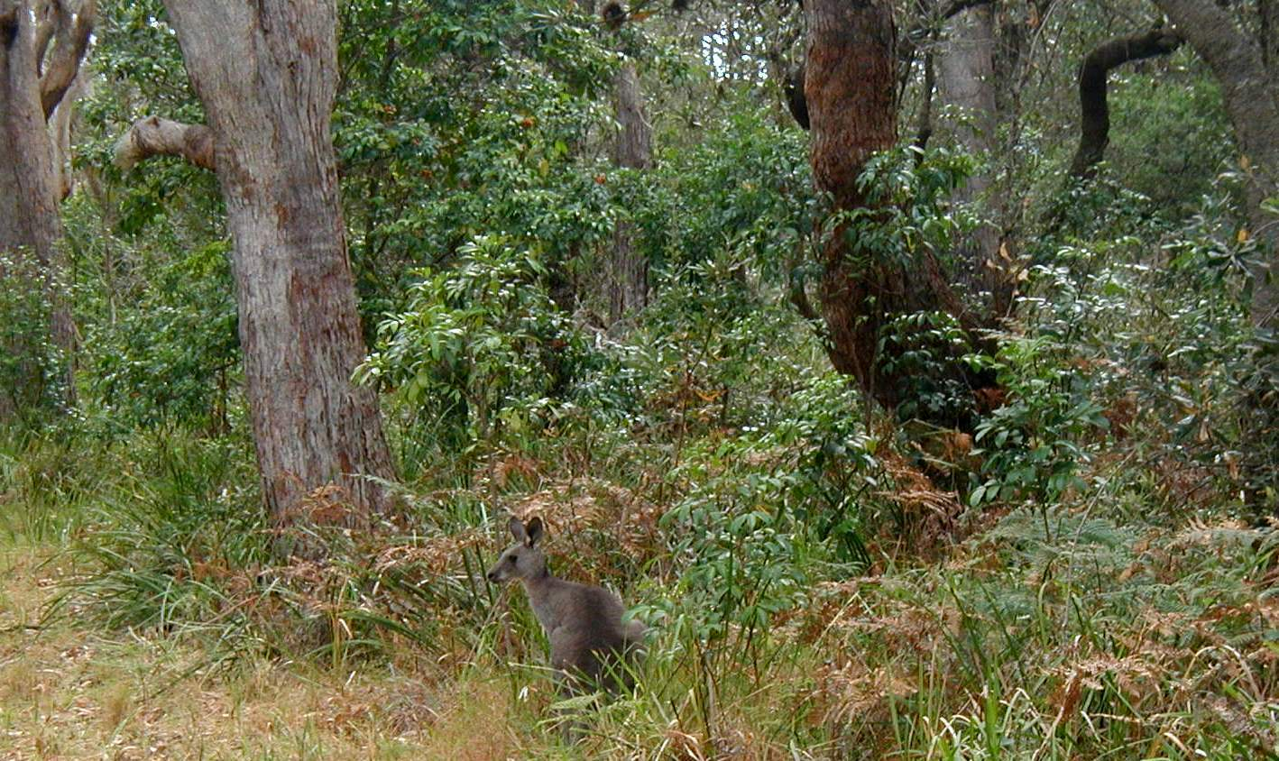 Kangaroo in a Eucalyptus forest in New South Wales, Australia. Not necessarily the first animal you associate with forest, but it's important to consider that the canopy density of more open dry forests (could be 25-50% cover) will differ from that of closed-canopy wet forests, which could reach 100% cover.