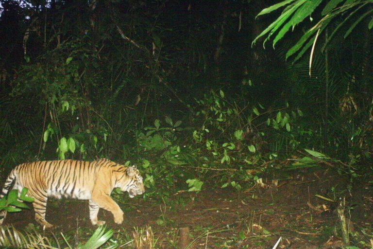 Kerinci_09AA_SE_SD_48-Tiger-2014-04-26-05-51-56