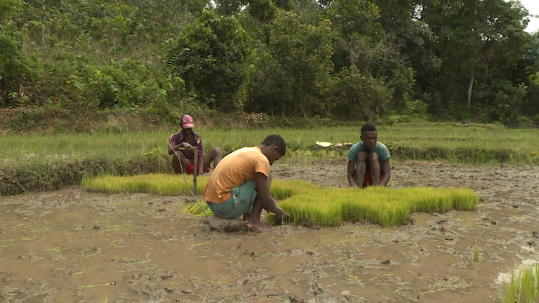 Even around national parks, non-tavy rice paddies like this are spreading. This paddy lies just outside Marojejy National Park, where forest once stood. Photo by Dan Ashby and Lucy Taylor for Mongabay.