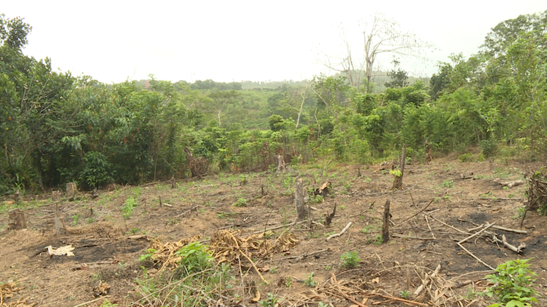 An illegal tavy clearing near the city of Sambava in Madagascar's northeastern Sava region. The remaining vegetation will be burned and the former forest converted to a farm. Tavy often causes such bad soil erosion that the land is rendered useless. Photo by Dan Ashby and Lucy Taylor for Mongabay.