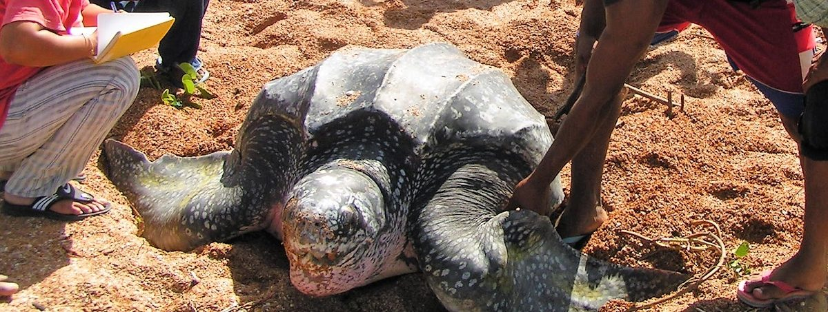 A turtle at Shell Beach in Region 1 of Guyana. Photo courtesy of Guyana Marine Conservation Society.