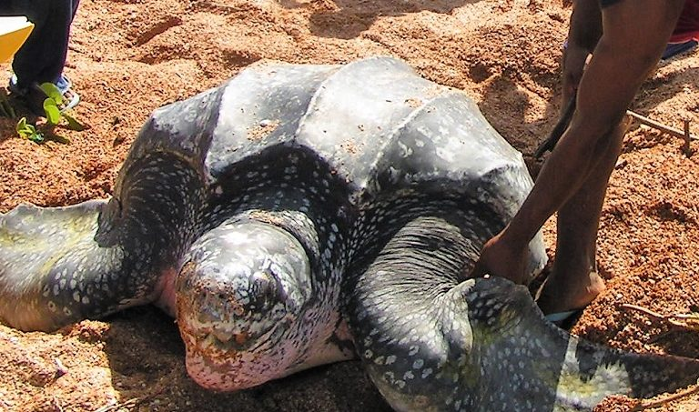 A turtle at Shell Beach in Region 1 of Guyana. Photo courtesy of Guyana Marine Conservation Society.