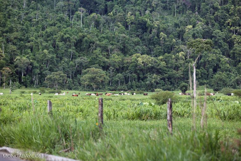 El desmonte para la ganadería es la causa principal de la deforestación en la Amazonía brasileña. Foto: Rhett A. Butler para Mongabay.