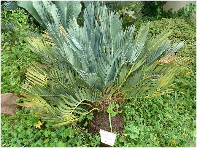 Fewer than 200 individuals of the critically endangered Wolkberg Cycad are estimated to remain in the wild. Photo credit: JMK via Wikimedia Commons (CC BY-SA 3.0)