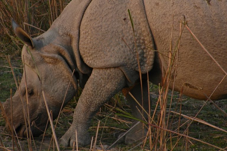 Biofuel project near India's rhino heartland sparks protests