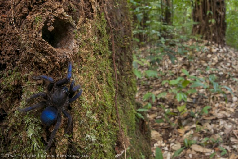 Brilliant blue tarantula among potentially new species discovered in Guyana