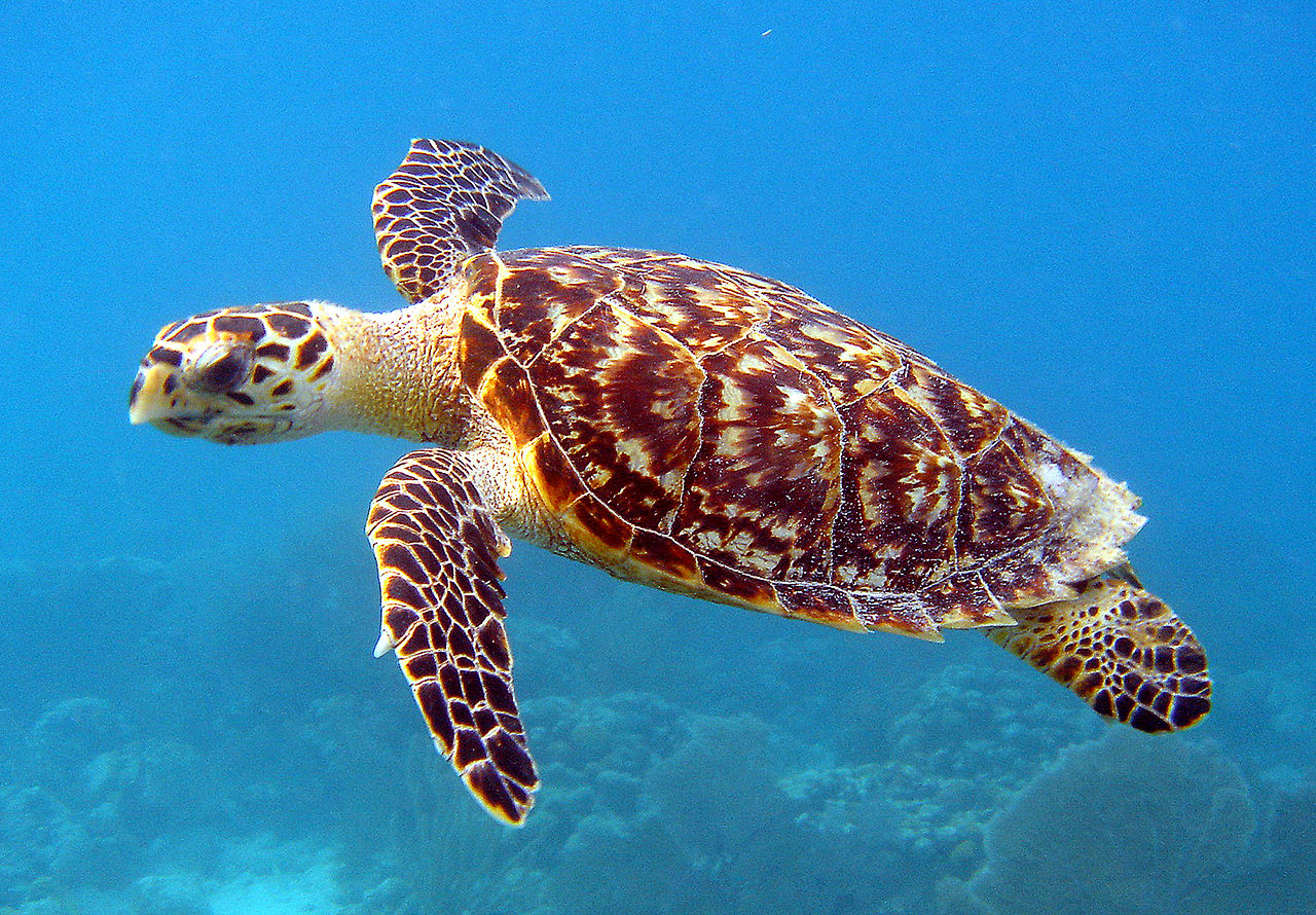 Hawksbill turtles are highly migratory and use a variety of habitats, from the open ocean to coral reefs, lagoons and mangrove swamps. Like other marine turtles, hawksbills are endangered by human activity, on land, where females lay their eggs, and at sea.