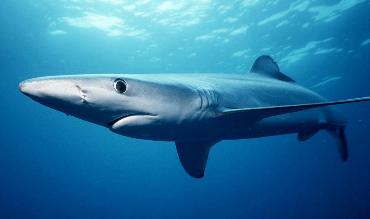 An even more elongated blue shark off southern California.