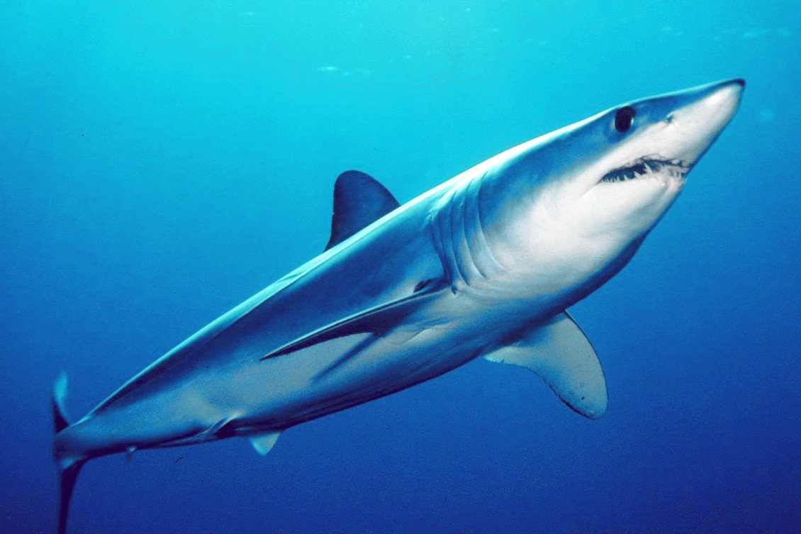 A shortfin mako shark, taken during juvenile shark survey of California's Channel Islands. They are the world's fastest shark and can jump up to 9m (30 ft) high, making them a target for game fishing.