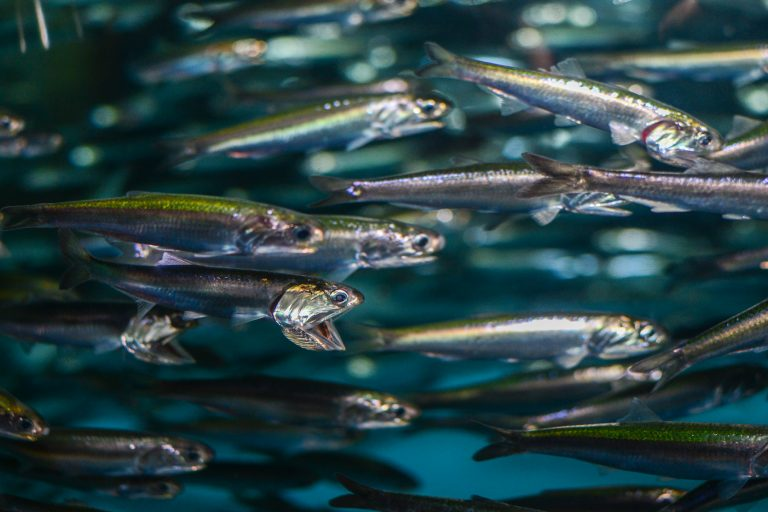 Northern anchovies are small silvery fish that swim in enormous schools in temperate waters and feed mainly on plankton, like krill. Photo by Matthew Savoca.
