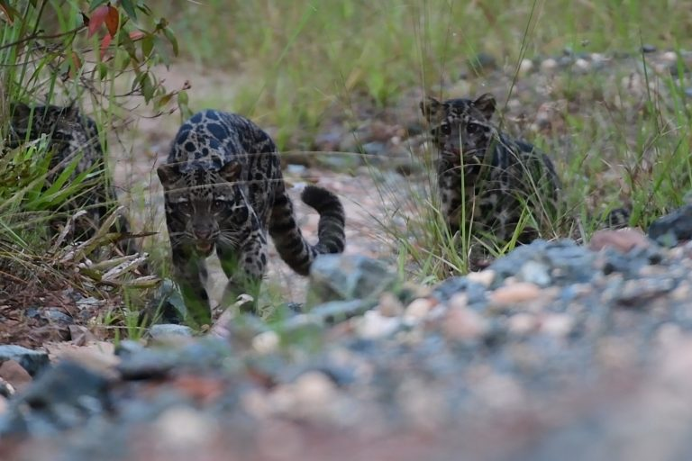 watch rare sighting of mother sunda clouded leopard and cubs caught