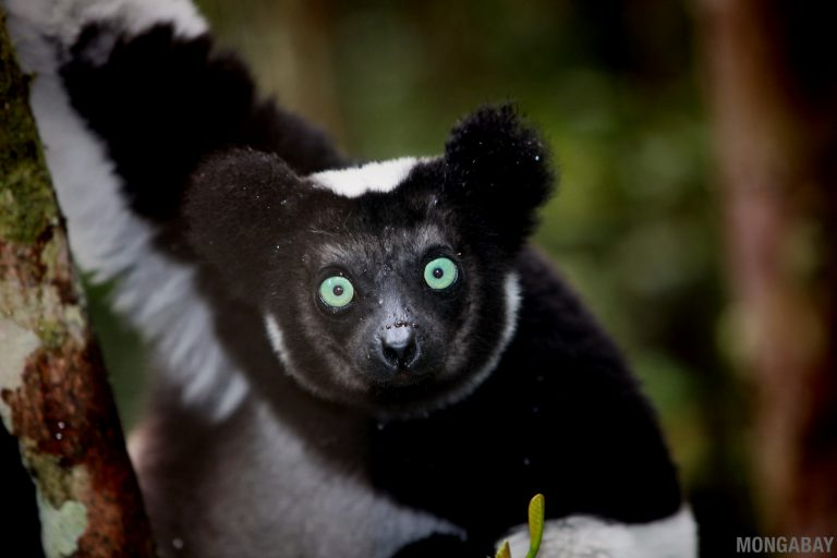 An indri (Indri indri), another critically endangered lemur that lives in Makira Natural Park. Photo by Rhett A. Butler.