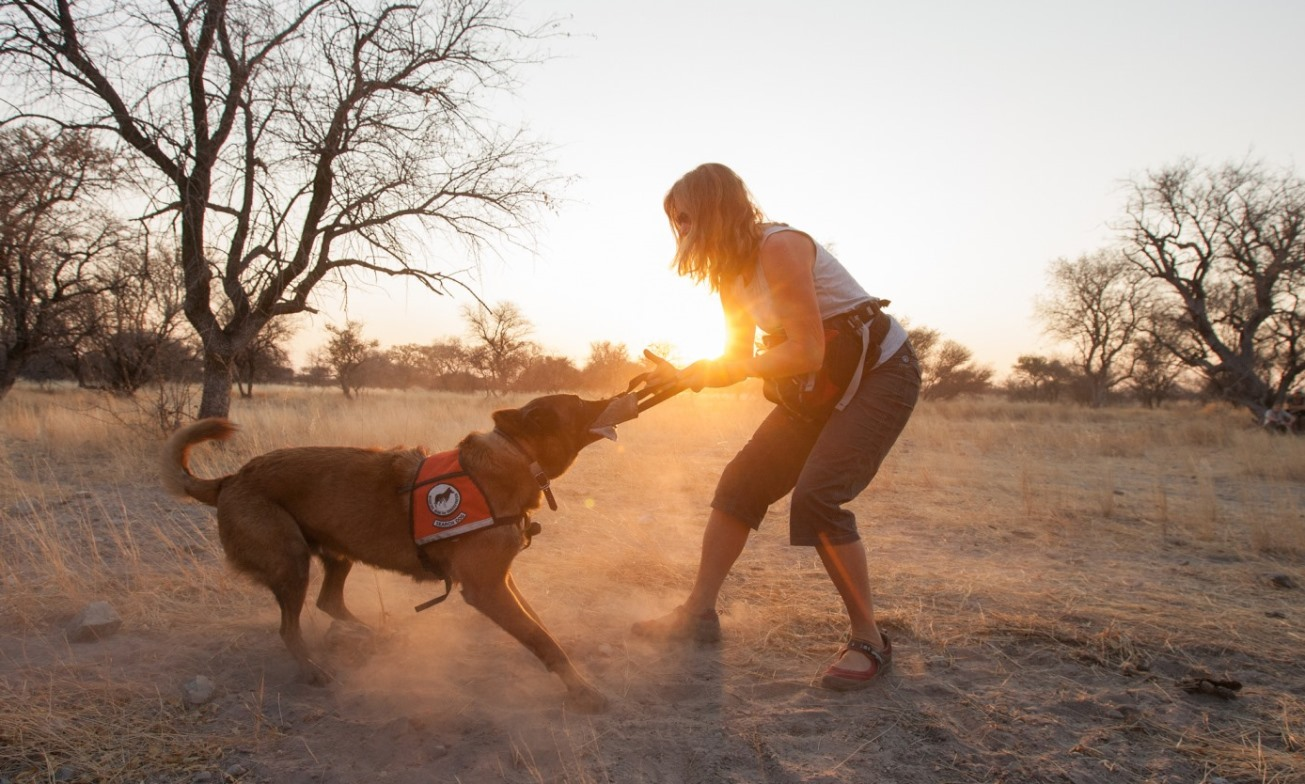Pepin gets a sunset play reward for sniffing out cheetah scat in Zambia.