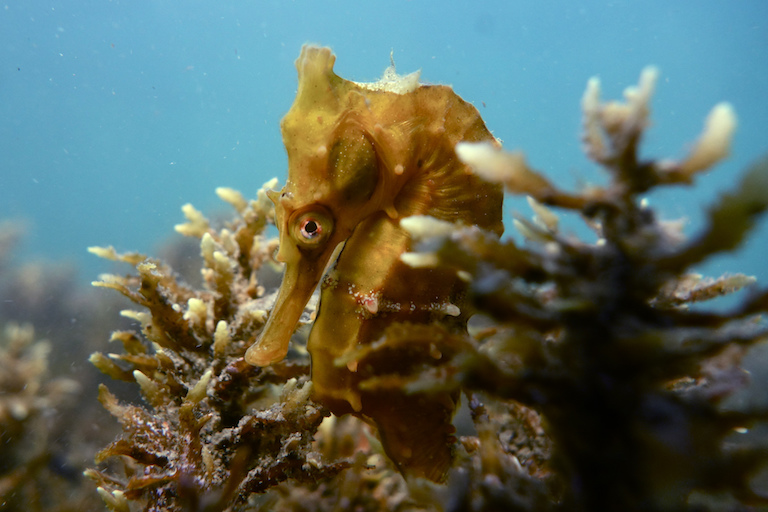 White's seahorse (Hippocampus whitei). This species is listed as Data Deficient by the IUCN, and was previously listed as Vulnerable, but there have been too few studies to say whether it remains at risk in the wild. Photo by Sylke Rohrlach via Flickr [CC BY-SA 2.0].