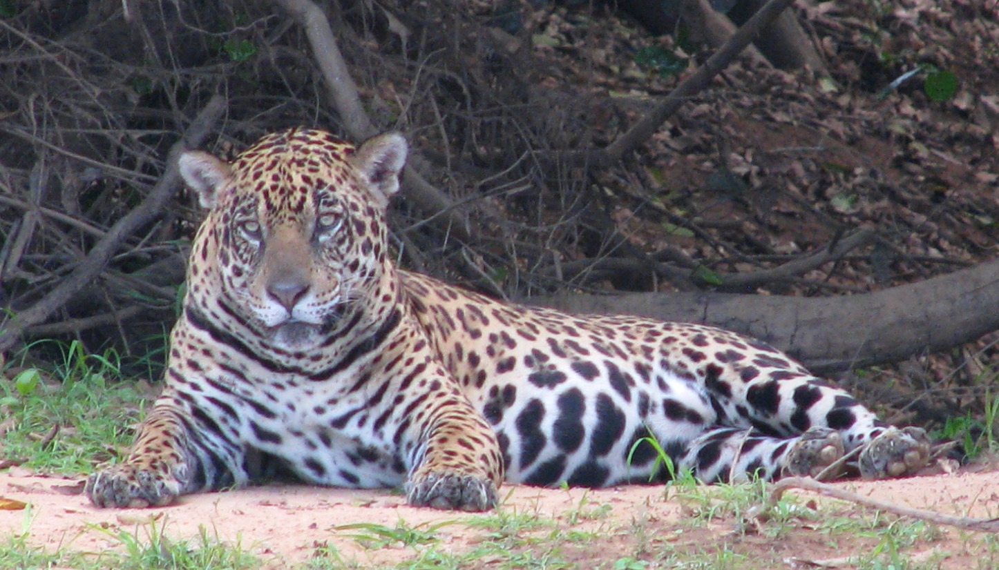 "Jaguars, such as this one resting on riverbank in Brazil, are categorized as ""Near Threatened"" under the International Union for the Conservation of Nature (IUCN) Red List."